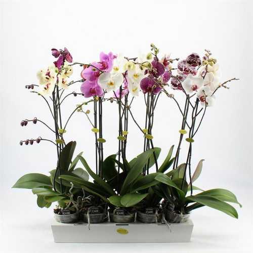 Фаленопсис Орхидея