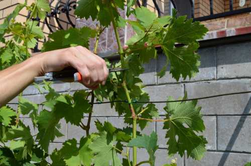 Как  размножать виноград, преимущества