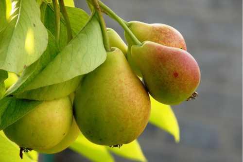 К чему снятся груши: покупать груши, есть груши и