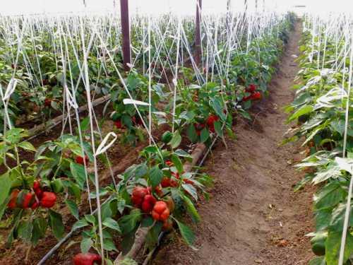 Выращивание перца в теплице: технология посева,