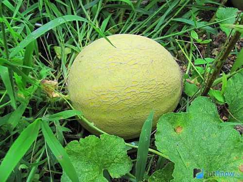 Выращивания дыни в открытом грунте: технология,