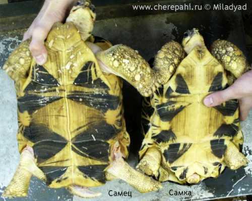 Это зависит в каких условиях проживает черепаха и какое покрытие в аквариуме, а также длительность ее нахождения на суше
