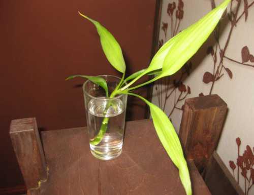 Бамбук в домашних условиях: посадка, выращивание,